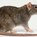 Как навсегда избавиться от крыс
