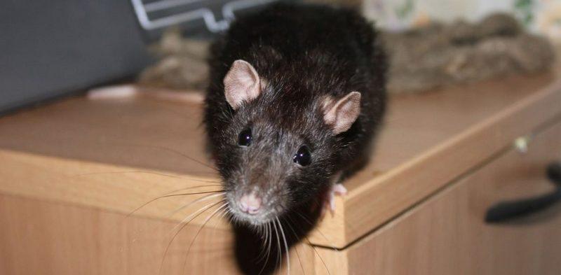 Как можно поймать крысу