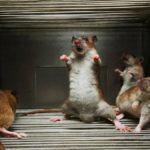 Как применяется отрава для крыс