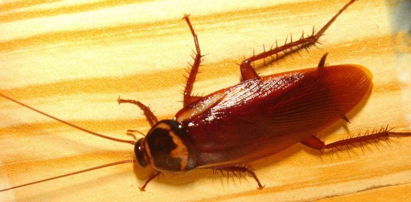 Как проводится дезинфекция от тараканов