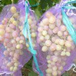 Как лучше уберечь виноград от ос