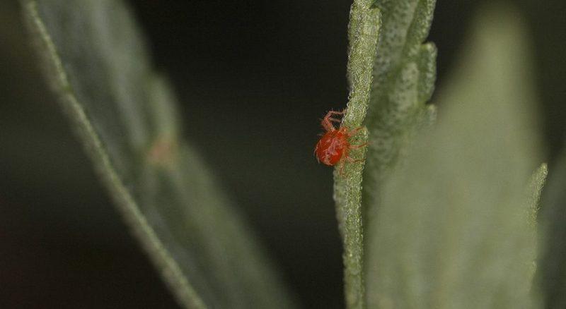 Как выглядит паутинный клещ