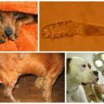 Лечение подкожного клеща у собак