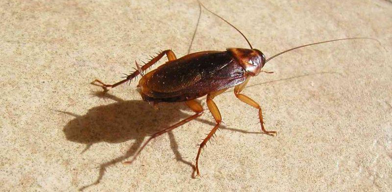 Может ли таракан проникнуть человеку в ухо