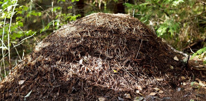 Можно ли уничтожить муравейник