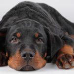 Симптомы и лечение ушного клеща у собак