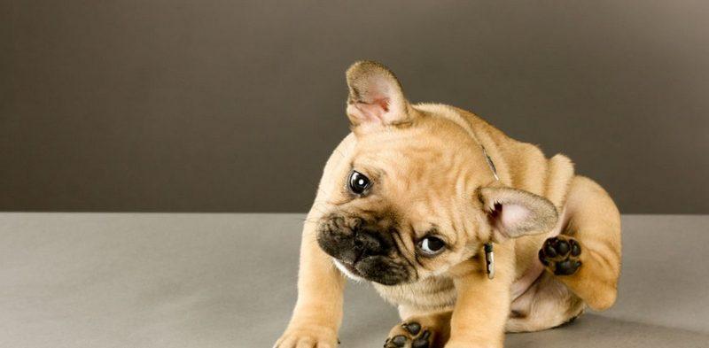 чесоточный клещ у собаки