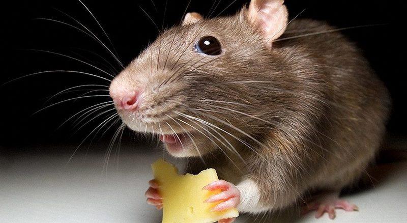 избавиться от крыс и мышей в частном доме