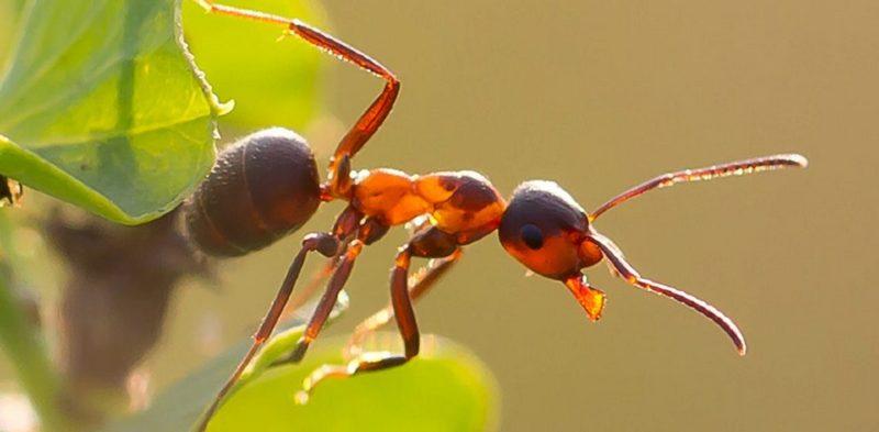 избавиться от муравьев в огороде народными средствами