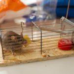 Способы как навсегда избавиться от мышей на даче