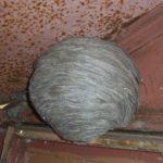 Одолели осы: как избавиться от осиного гнезда