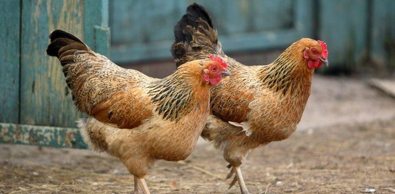 Из домашней птицы в пищу употребляют только кур