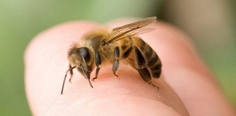 лечение укуса осы и пчелы