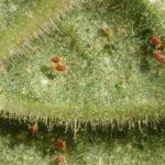 Чем эффективно обработать огурцы от паутинного клеща?