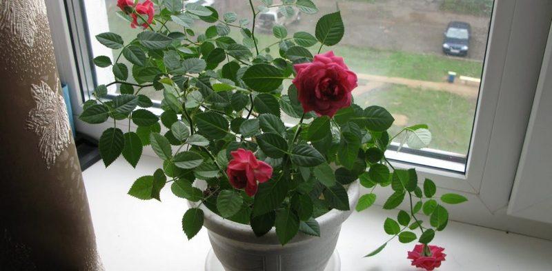 паутинный клещ на розе