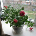 Как избавиться от паутинного клеща на розе?