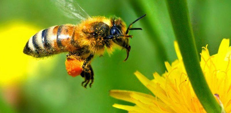 Как можно снять отек от укуса пчелы