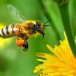 Как можно снять отек от укуса пчелы?